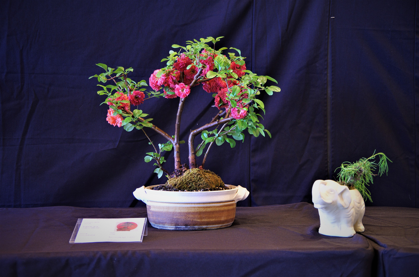 Quince, Chaenomeles japonica, 2 trees, 4