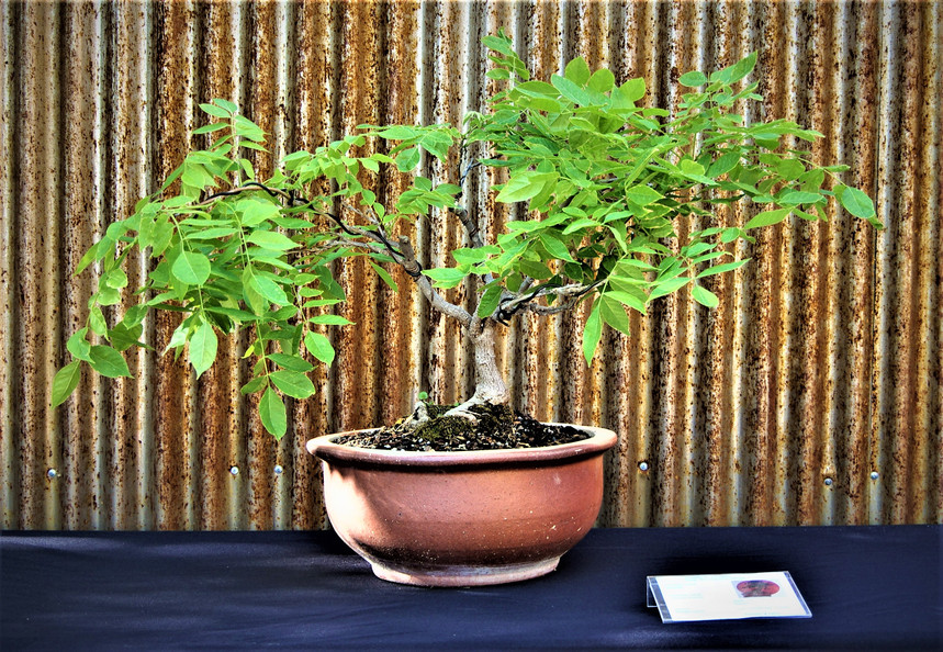 Wisteria, Wisteria sinensis, Broom, 5 yr