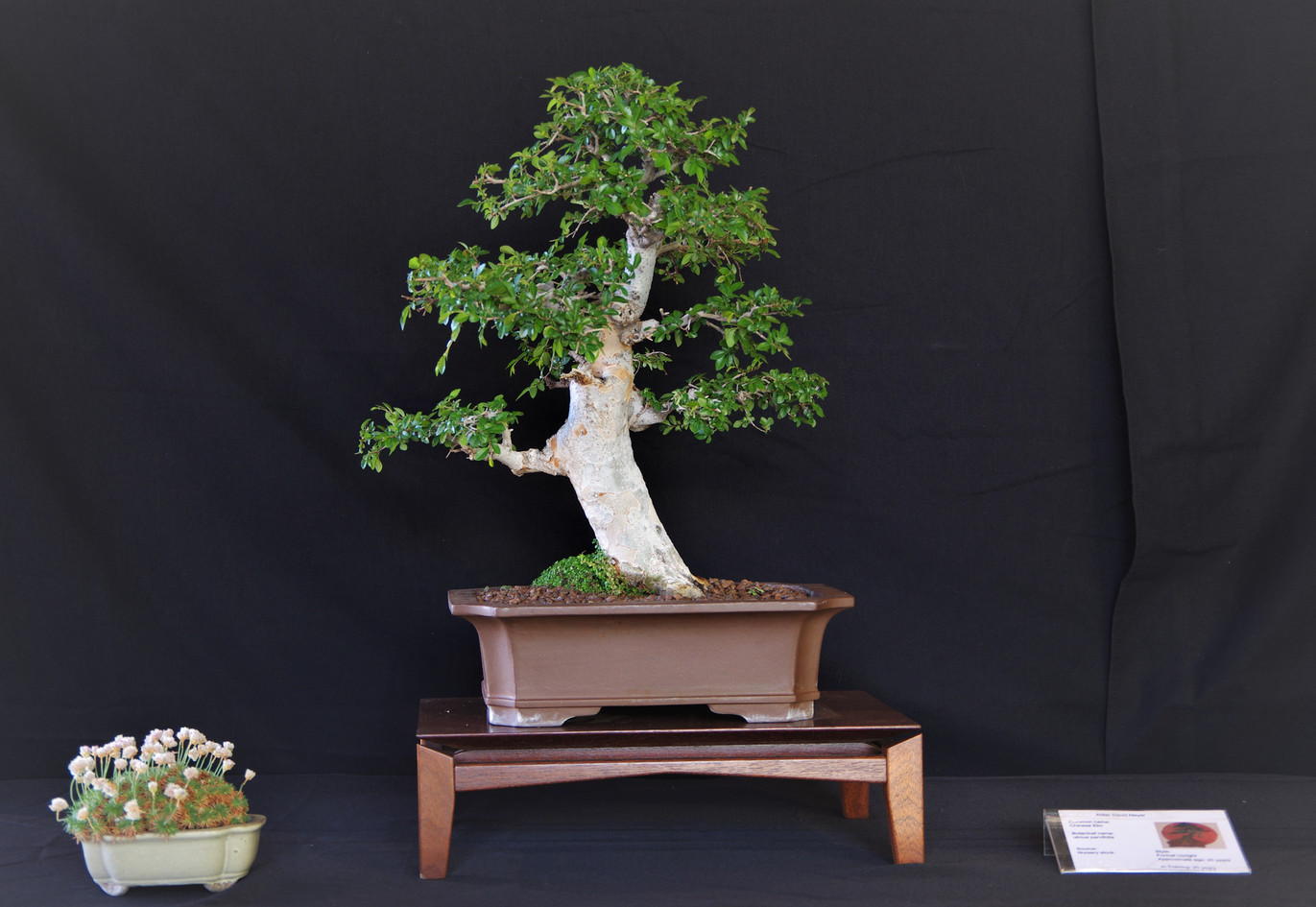 Chinese Elm, Ulmus Parvifolia, Formal Up