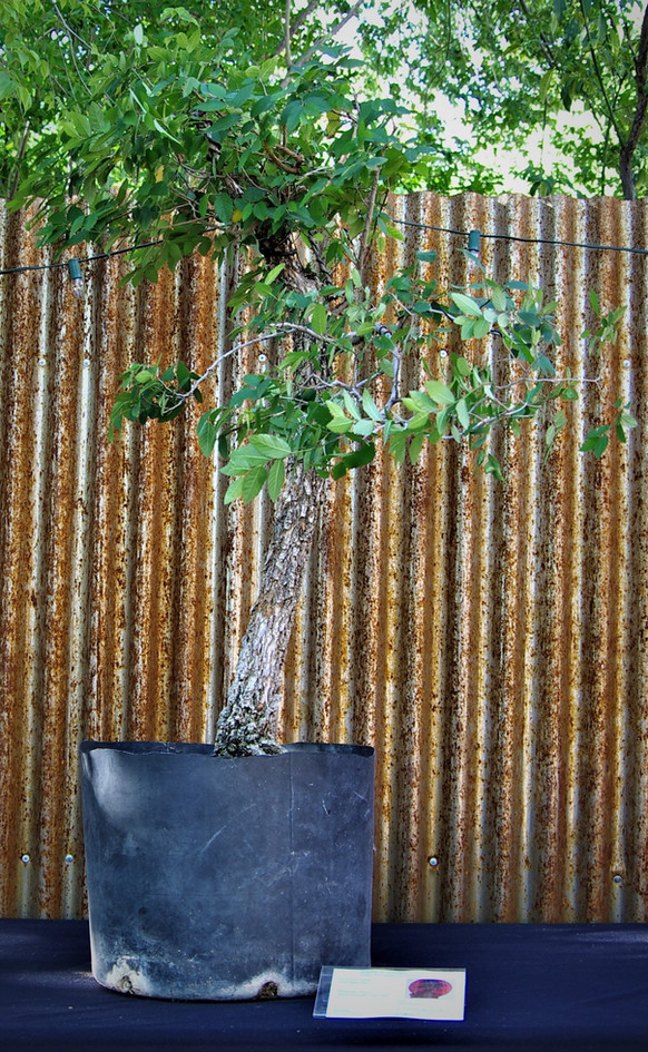 Cork Bark Elm, Ulmus parvifolia 'Cork Ba