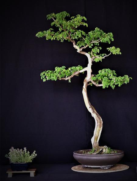 Brazilian Rain Tree, Pithecellobium tort