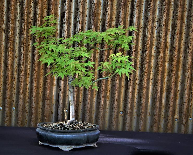 Japanese Maple, Acer palmatum, Age unkno