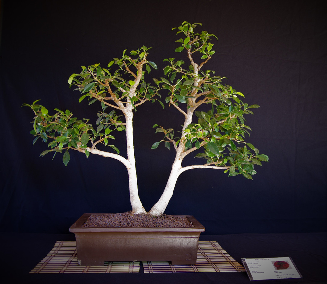 Retusa Fig, Ficus retusa, Twin trunk, 10