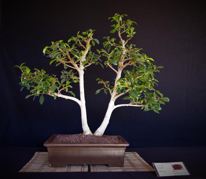 Retusa Fig, Ficus retusa, Twin trunk, 10