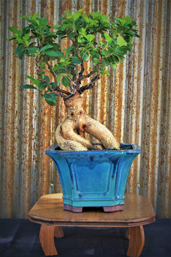 Ginseng Grafted Ficus, Ficus microcarpa,