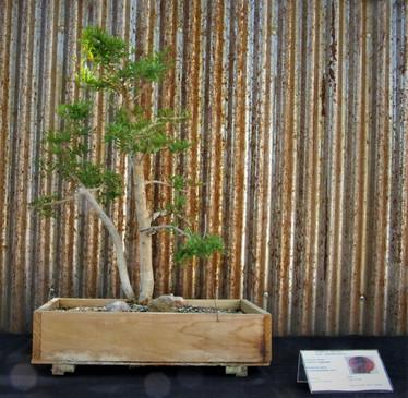 Dwarf Pomegranate, Punica granatum _nana