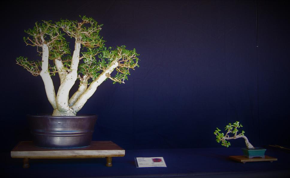 Elephant Tree, Bursera microphylla, Clum