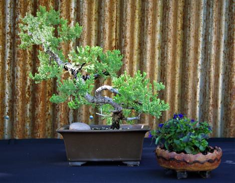 Green Mound Juniper, Junerpus procumbens