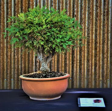 Heavenly Bamboo, Nandina domestica, Info