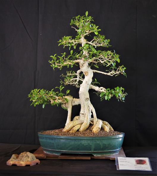 Veld Rock Fig, Ficus burtt davyi nana, F