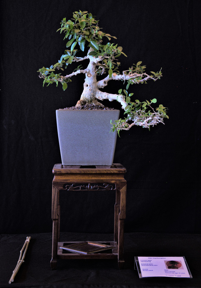 Veld Rock Fig, Ficus burtt davyi, Semi-c