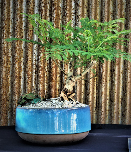 Jacaranda, Jacaranda mimosifolia, Inform