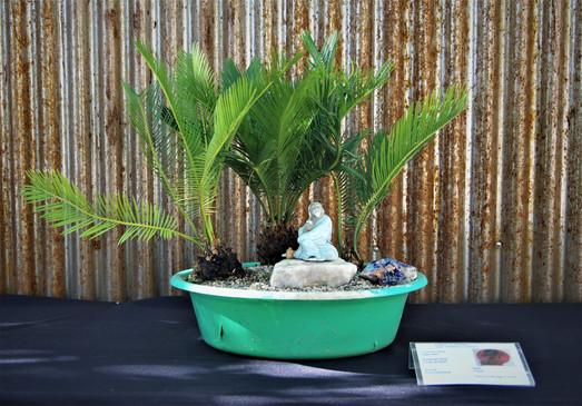 Sago Palm, Cycas revoluta, Forest, 5 yrs
