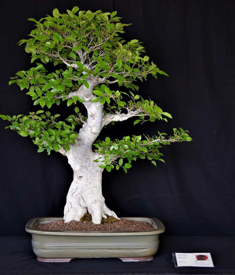 Chinese Hackberry, Celtis Sinensis, Info