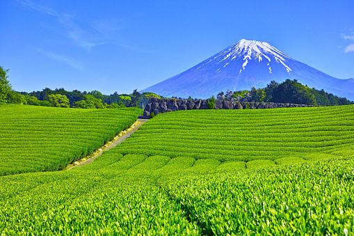 tea fields close to Mount Fuji in Shizuoka.