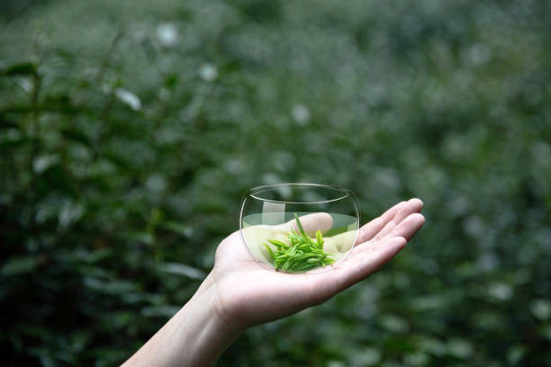 Freshly picked young tea leaves in a glass.