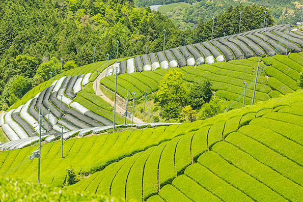 Rowsof nicely manicured tea bushes in Wazuka, Kyoto mountains in Japan