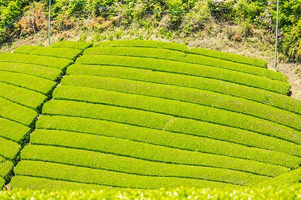 Tea field in Wazuka, Kyoto, Japan, 2018.