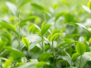 Shincha or the beautifulness of Japanese new teas.