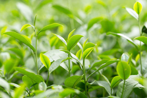 Japanese tea field with new and young leaves.
