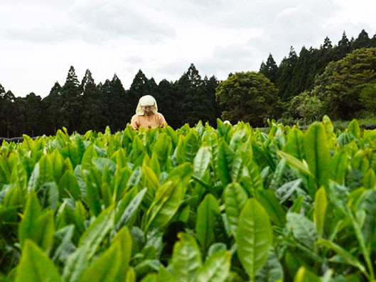 A woman works in a Yakushima tea field.