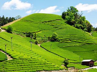 Beyond Uji & Shizuoka: tea cultivation in Japan