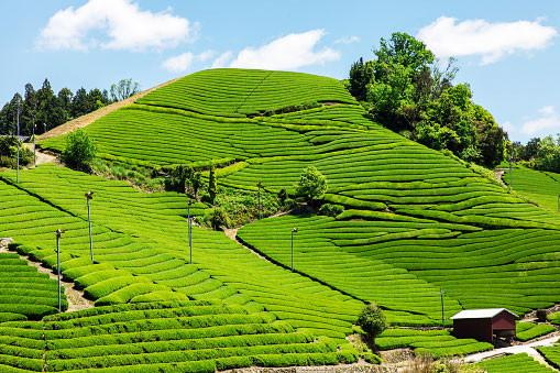Tea plantation in Kyoto in Japan