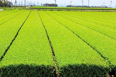 Japanese tea fields in Kagoshima