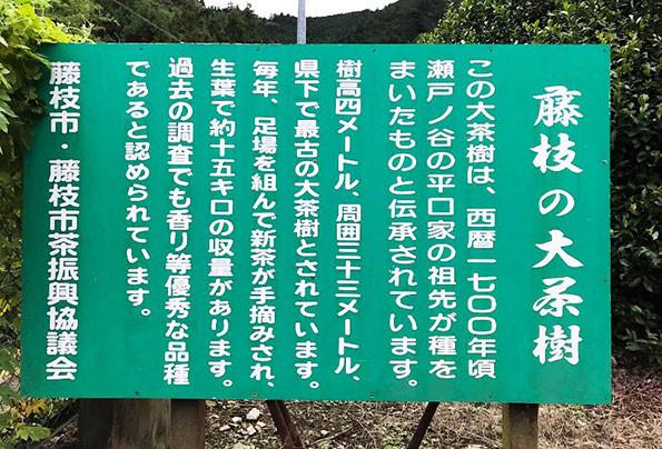 fujieda japan tea tree old 300 year old
