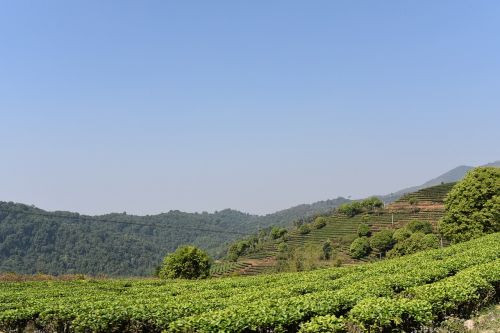 Tea plantation in Yunnan in a nice and sunny day with clear sky