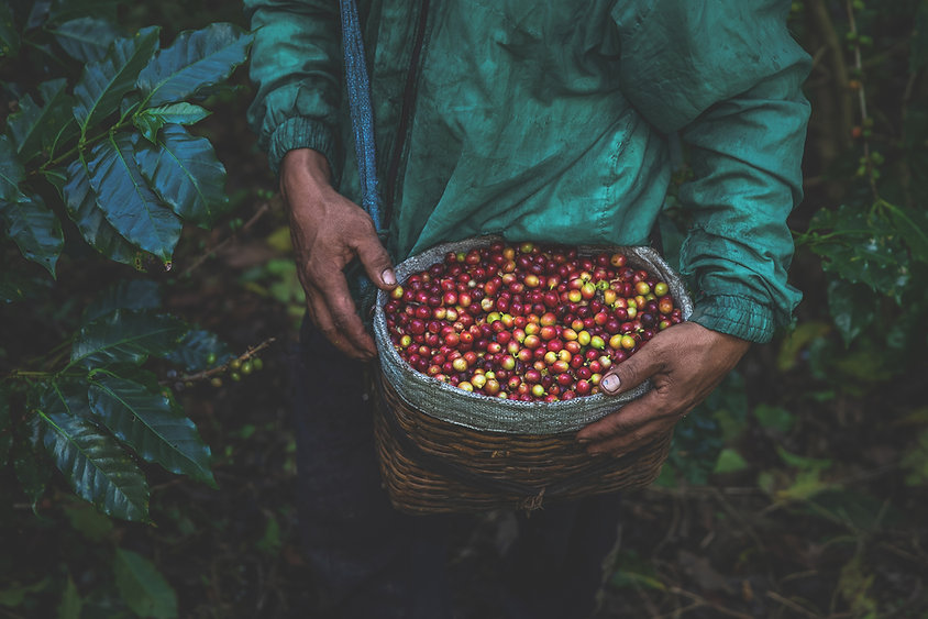haymarket_coffee_cherries_in_basket_with