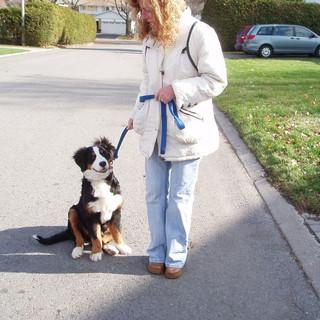 Bernese Mountain Dog.jpg