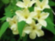 jasmine-385619_1280.jpg