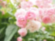roses_pink_light_pink_rosebush_garden_ro