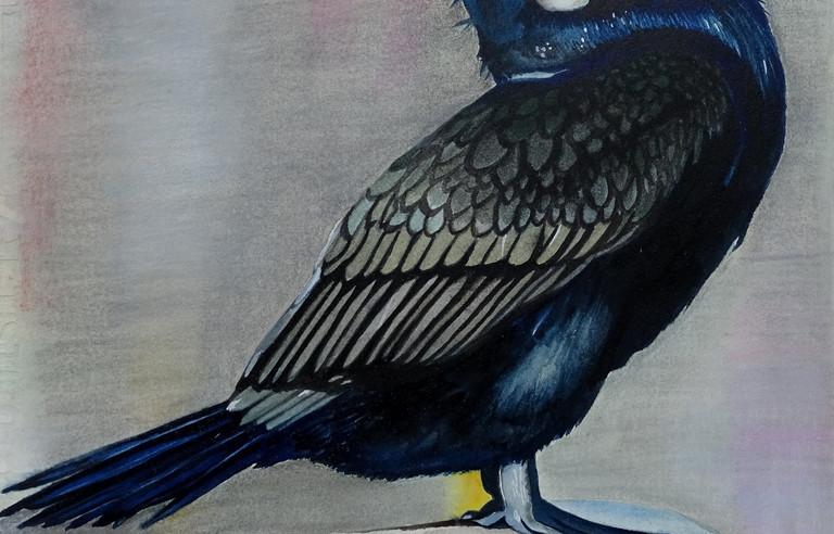Great Cormorant(2019)