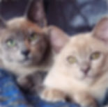 Burmese Kittens