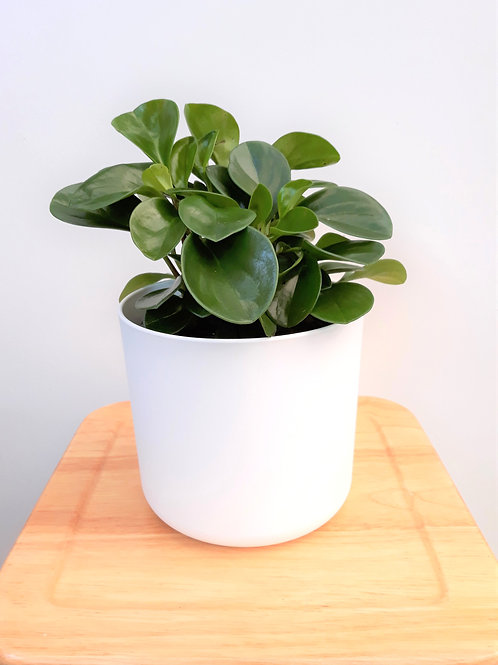 Cool Plant+Pot (White/Anthracite) - Peperomia Jade