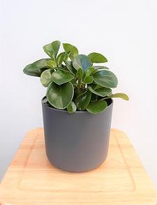 peperomia jade grey planter.jpg