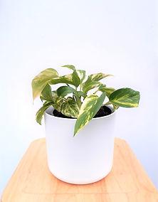 Devils Ivy in white elho