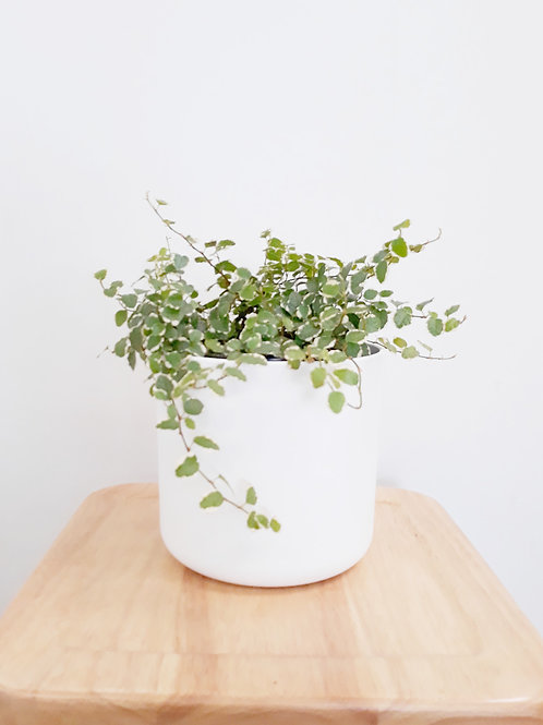 Cool Plant+Pot 16cm (White/Anthracite) - Ficus Frosty
