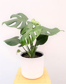 monstera compact leaf
