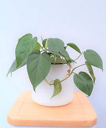 Philodendron Scandens 17cm.jpg