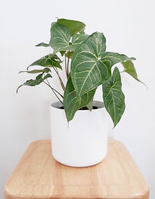 Syngonium Greens Gold white pot.jpg