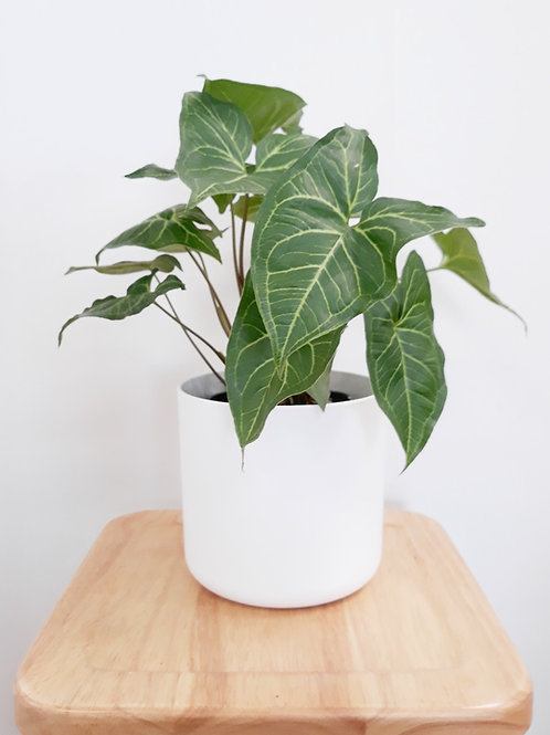 Cool Plant+Pot (White/Anthracite) - Syngonium Green Gold