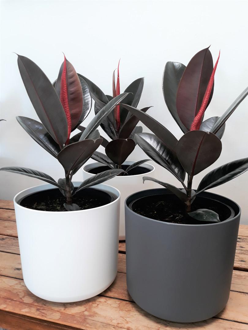 Ficus Black Knight.jpg