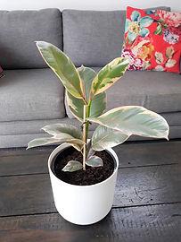 Ficus Ruby .jpg