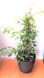 Ficus Reginald in black elho