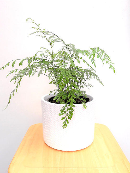 I Will Survive Indoor Plant Package - 4 plants