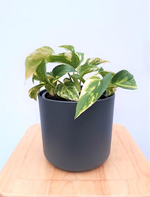 Devils Ivy in grey elho