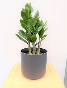ZZ plant in grey planter.jpg